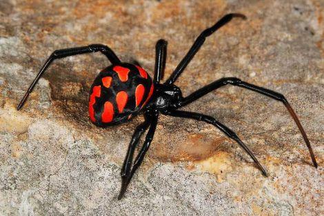 Павук у вусі жінки