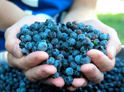 Ягоди чорниці садової допомагають літнім людям залишатися бадьорими та активними