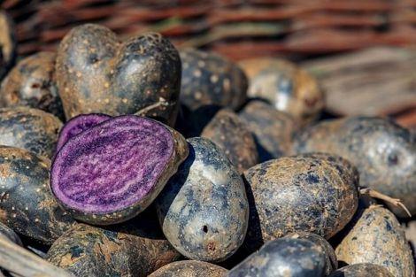 Незвичайний колір і цілющі властивості: синя картопля знижує тиск