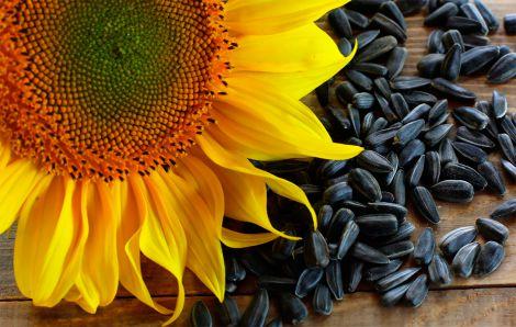 Чому шкідливо вживати насіння соняшника?