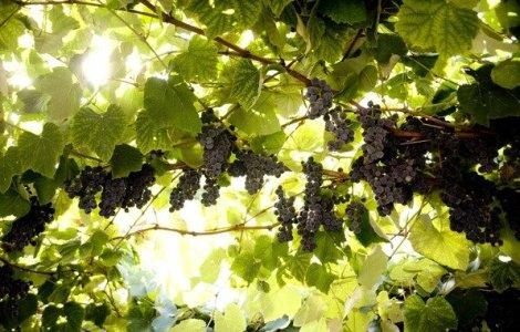 Виноград рятує від туберкульозу