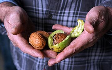 грецькі горіхи здатні продовжити тривалість життя