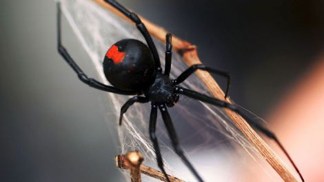 Отрута павука лікує рак