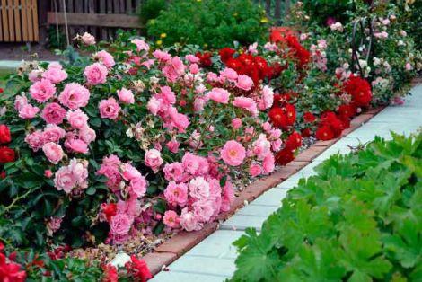 Королева цветов: как правильно сажать розы осенью?