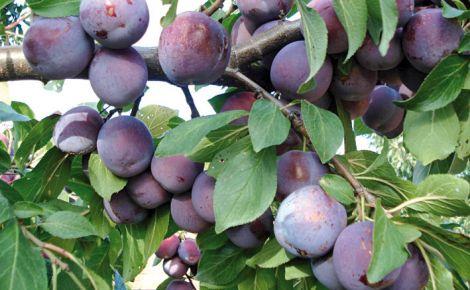 Плоди сливи захистять від раку