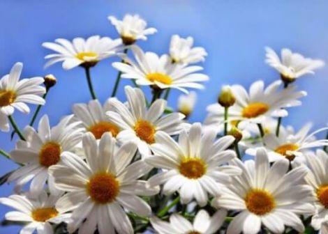 Квіти ромашки