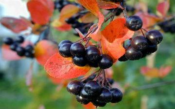 Осіння ягоди проти грипу