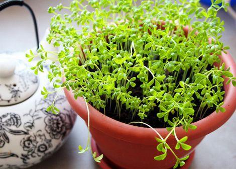 Виростити крес-салат можна в домашніх умовах