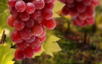 Виноград для зміцнення імунітету