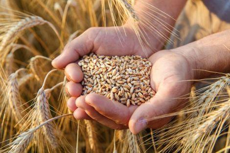 Пшениця для здоров'я