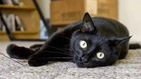 Смерть через кішку