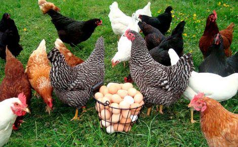 Кури нестимуть лікувальні яйця