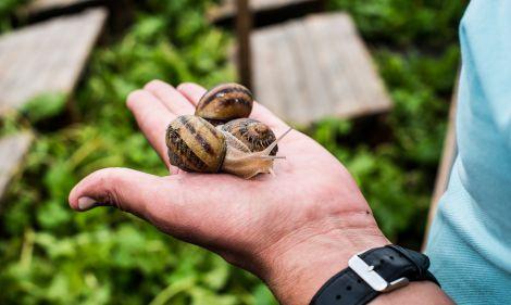 Корисні властивості слизу равликів
