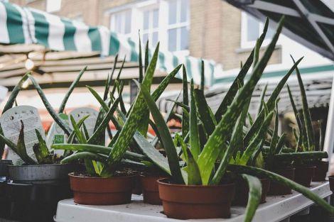 Як виростити алое в домашніх умовах: особливості догляду за рослиною