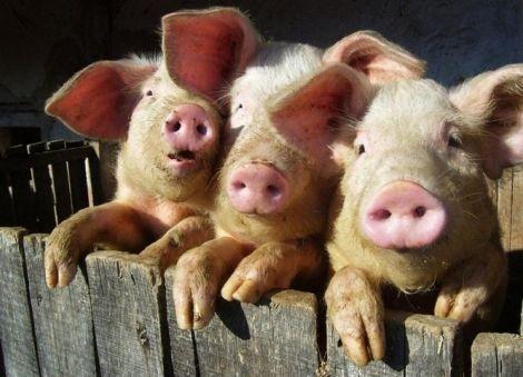 Японські науковці вирощуватимуть людські органи в тваринах