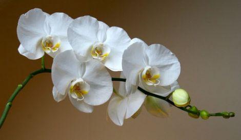 domashnyaya-orhideya-falenopsis.jpg (14.17 Kb)